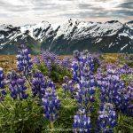 Photo Friday: Lupine of the Juneau Ridge