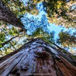 Photo Friday: Alerce Trees of Cochamo Valley