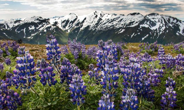 Photo Friday: Lupine of the Juneau Ridge